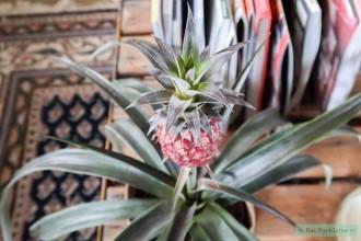 Snurkt jouw partner? Dan is dit ananasplantje misschien de oplossing!