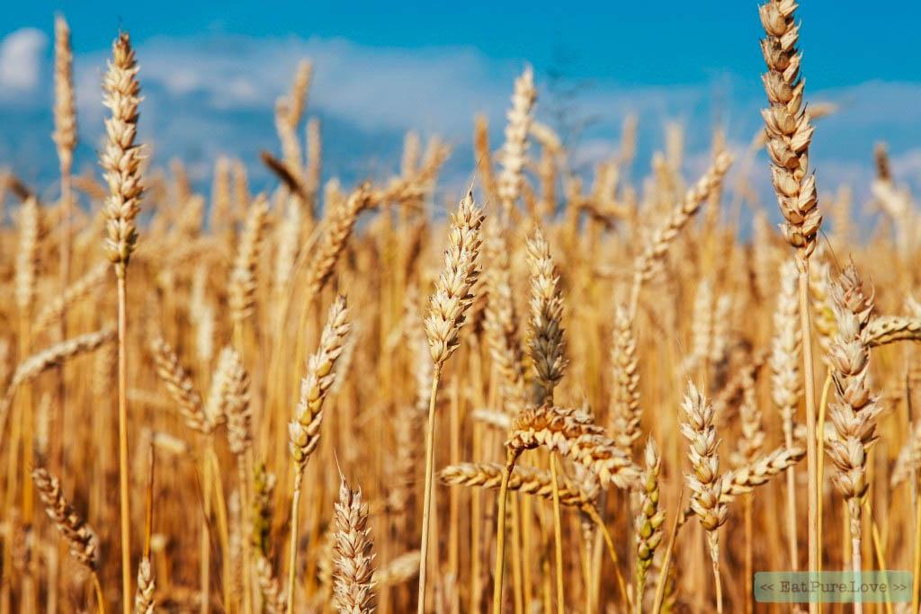 Spelt versus tarwe
