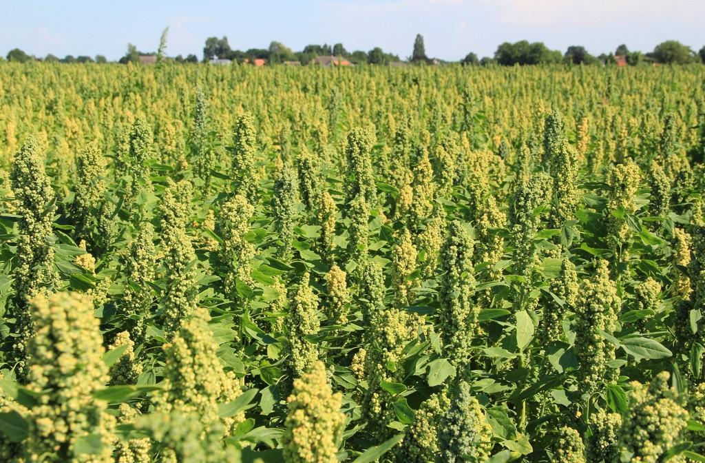 Nederlandse quinoa