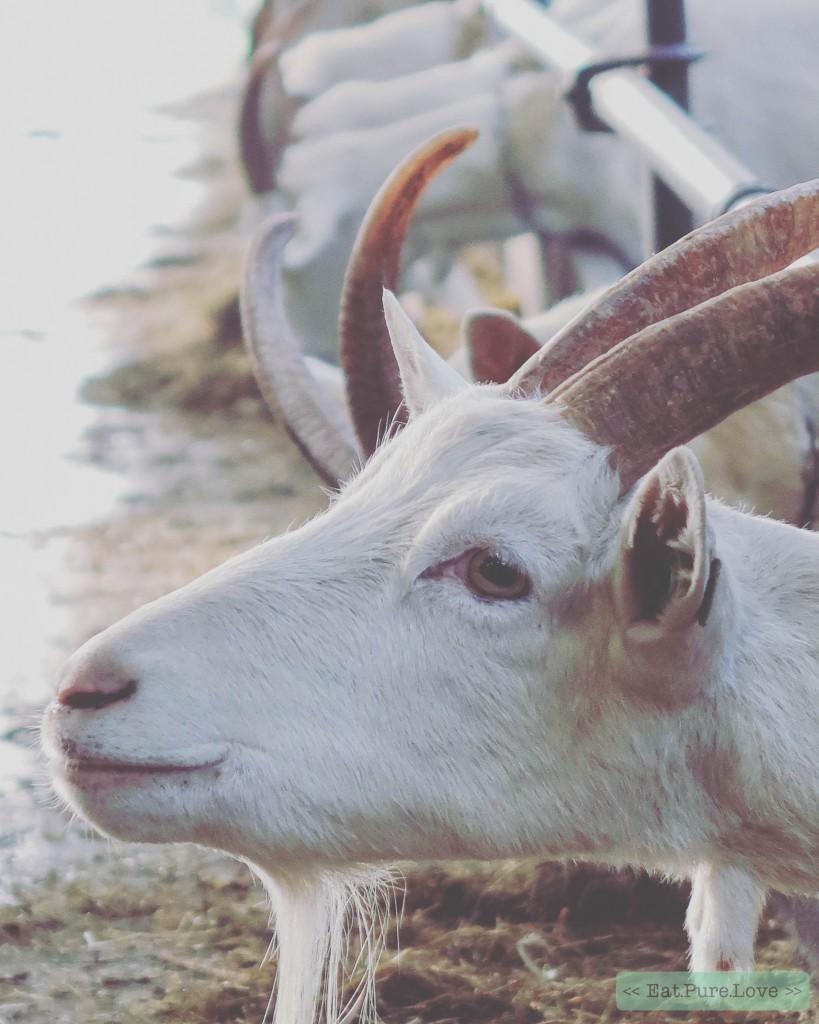 Biologische geitenboerderij De Groote Stroe