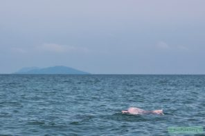Roze dolfijnen spotten in Khanom, Thailand-5