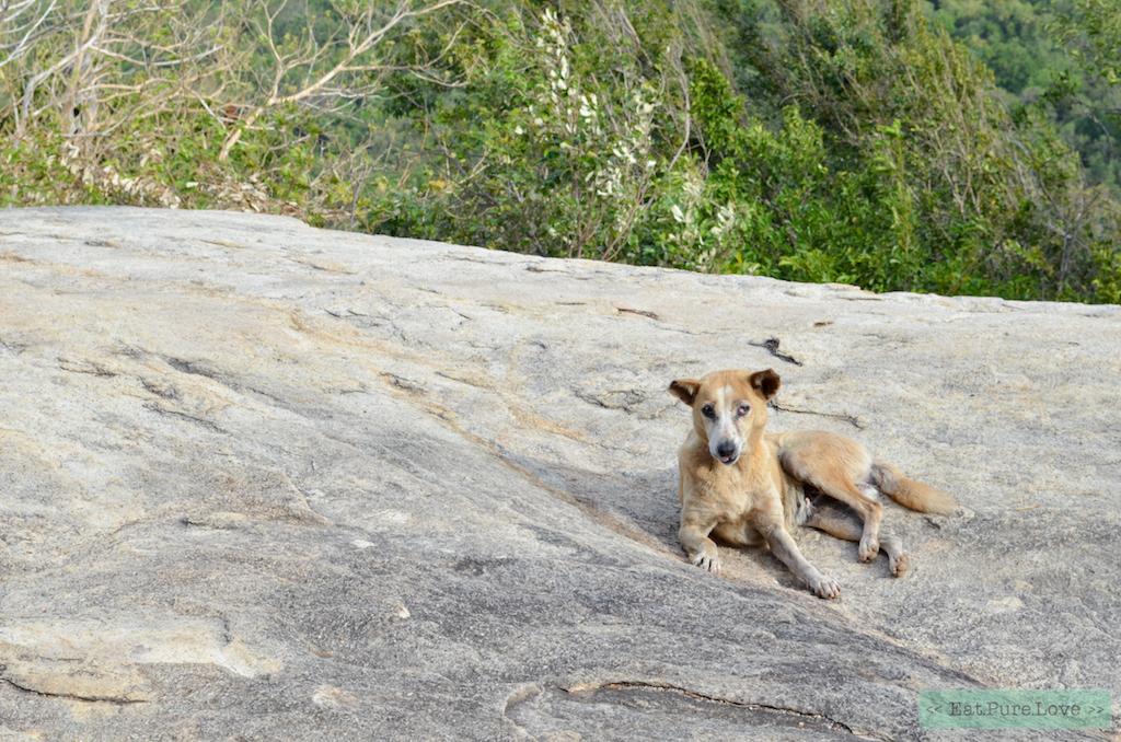 zwerfhonden van Sri Lanka